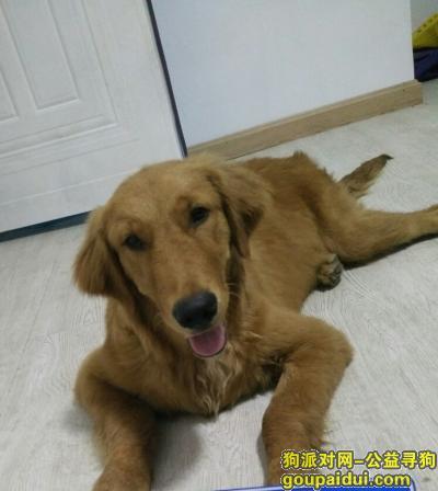 宣城寻狗启示,金毛犬60多斤丢失宣州区麒麟大道11号,它是一只非常可爱的宠物狗狗,希望它早日回家,不要变成流浪狗。