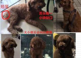 【寻狗启事】8.26龙华民治天虹附近丢失泰迪狗狗