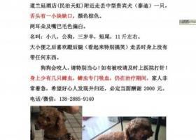 【寻狗启事】8月26日深圳龙华民治天虹走丢泰迪GG