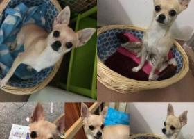 寻狗启示,深圳罗湖田贝寻狗启示,它是一只非常可爱的宠物狗狗,希望它早日回家,不要变成流浪狗。