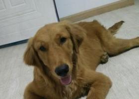 寻狗启示,金毛找到了,它是一只非常可爱的宠物狗狗,希望它早日回家,不要变成流浪狗。