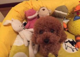 寻狗启示,5000元重金寻贵宾犬(妹妹),它是一只非常可爱的宠物狗狗,希望它早日回家,不要变成流浪狗。