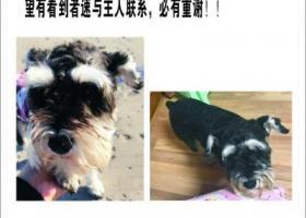 寻狗启示,通辽市铁南十五栋酬谢两千元寻找雪纳瑞,它是一只非常可爱的宠物狗狗,希望它早日回家,不要变成流浪狗。