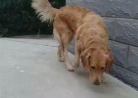 寻狗启示,寻找爱犬,已经丢失一年找了一年一点消息都没有,它是一只非常可爱的宠物狗狗,希望它早日回家,不要变成流浪狗。