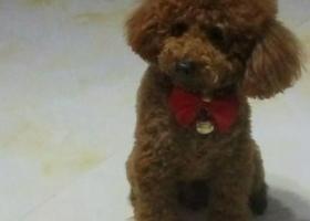 寻狗启示,寻找我的儿子是一条棕色泰迪犬,它是一只非常可爱的宠物狗狗,希望它早日回家,不要变成流浪狗。