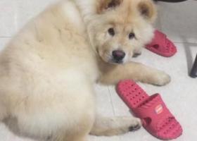 寻狗启示,寻找松狮宝宝,她他一岁了。公狗,它是一只非常可爱的宠物狗狗,希望它早日回家,不要变成流浪狗。