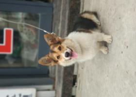 寻狗启示,寻狗 柯基 三色 豪德市场附近,它是一只非常可爱的宠物狗狗,希望它早日回家,不要变成流浪狗。