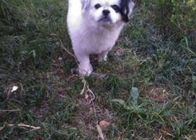 寻狗启示,左岸风度小区发现遗失狗狗,它是一只非常可爱的宠物狗狗,希望它早日回家,不要变成流浪狗。