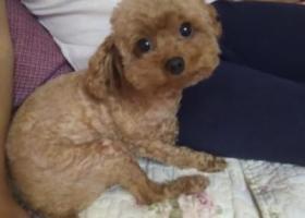 寻狗启示,5000元寻找在泰安东平丢失的棕色泰迪,它是一只非常可爱的宠物狗狗,希望它早日回家,不要变成流浪狗。