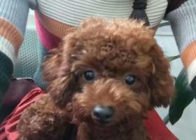 寻狗启示,红棕色母泰迪  有一只耳朵折起的,它是一只非常可爱的宠物狗狗,希望它早日回家,不要变成流浪狗。