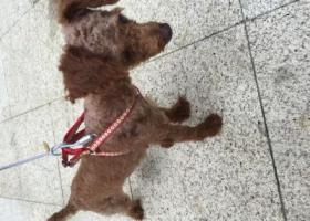 福州五四北三盛国际公园长岛区捡到红贵宾泰迪狗一只,主人速来
