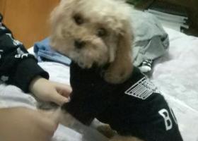 寻狗启示,济南白马山南路世茂原山首府丢失小泰迪,它是一只非常可爱的宠物狗狗,希望它早日回家,不要变成流浪狗。