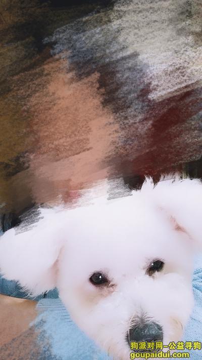 六安寻狗,图图!快安全回来吧!我们都很想你!,它是一只非常可爱的宠物狗狗,希望它早日回家,不要变成流浪狗。