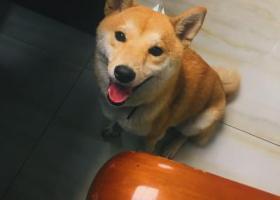 寻狗启示,无锡重金寻找柴犬 感恩,它是一只非常可爱的宠物狗狗,希望它早日回家,不要变成流浪狗。