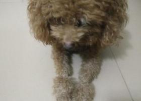寻狗启示,本人于10月19日下午在惠城区江北新寮村篮球场附近捡到一只泰迪犬,它是一只非常可爱的宠物狗狗,希望它早日回家,不要变成流浪狗。