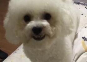 寻狗启示,扬州广陵区解放桥路口酬谢五千元寻找白色比熊,它是一只非常可爱的宠物狗狗,希望它早日回家,不要变成流浪狗。
