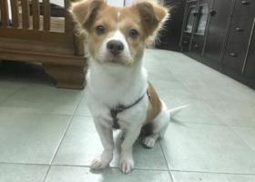 寻狗启示,海珠区捡到串串蝴蝶小母狗狗,它是一只非常可爱的宠物狗狗,希望它早日回家,不要变成流浪狗。