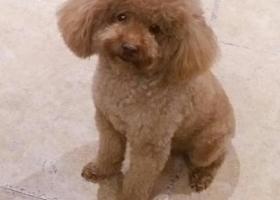 寻狗启示,芜湖市镜湖区左岸生活小区重金寻找香槟泰迪,它是一只非常可爱的宠物狗狗,希望它早日回家,不要变成流浪狗。
