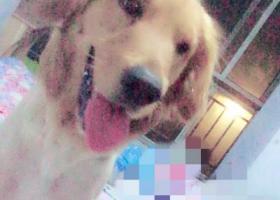 寻狗启示,本人丢了一只金毛狗,名叫乐乐,它是一只非常可爱的宠物狗狗,希望它早日回家,不要变成流浪狗。