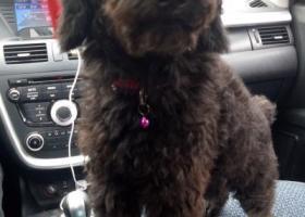 寻狗启示,2017年10月22日娄底五江碧桂园捡到黑色泰迪一只,希望能早日找到主人,它是一只非常可爱的宠物狗狗,希望它早日回家,不要变成流浪狗。