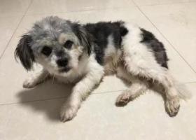 寻狗启示,界首市西城区古牧犬黑白色,它是一只非常可爱的宠物狗狗,希望它早日回家,不要变成流浪狗。