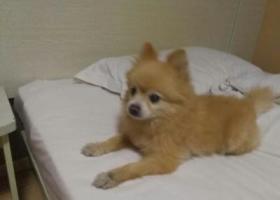 寻狗启示,青岛兴隆路捡到一只像博美的小公狗,它是一只非常可爱的宠物狗狗,希望它早日回家,不要变成流浪狗。