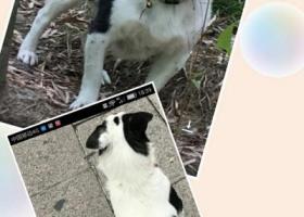 寻狗启示,嘉兴秀洲区洪合镇寻找中华田园犬,它是一只非常可爱的宠物狗狗,希望它早日回家,不要变成流浪狗。