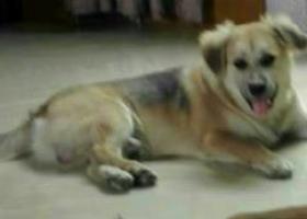 寻狗启示,这个耷耳小胖狗谁看到过?,它是一只非常可爱的宠物狗狗,希望它早日回家,不要变成流浪狗。