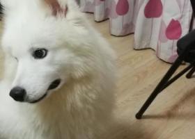 寻狗启示,江宁殷巷小区发现一只萨摩耶,它是一只非常可爱的宠物狗狗,希望它早日回家,不要变成流浪狗。