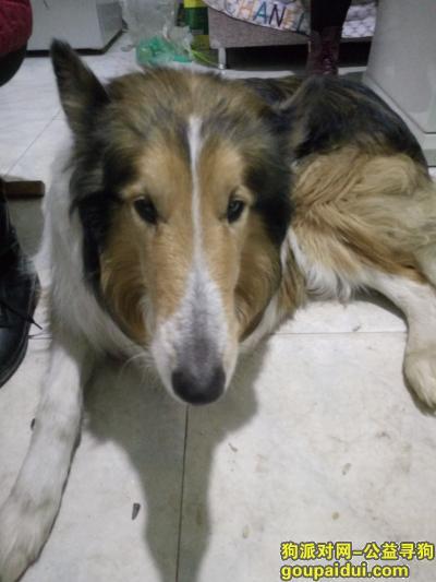 滨州寻狗网,寻找苏牧,名叫旺财,性格温顺,它是一只非常可爱的宠物狗狗,希望它早日回家,不要变成流浪狗。