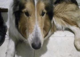 寻狗启示,寻找苏牧,名叫旺财,性格温顺,它是一只非常可爱的宠物狗狗,希望它早日回家,不要变成流浪狗。