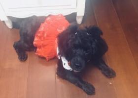 寻狗启示,4个半月小黑卷毛母狗于海南省东方市卫生局小区走丢,望大家帮我寻找,找到有赏!好人一生平安!,它是一只非常可爱的宠物狗狗,希望它早日回家,不要变成流浪狗。
