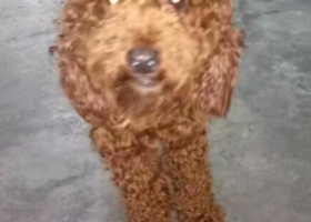 在东莞东坑走失一只泰迪犬