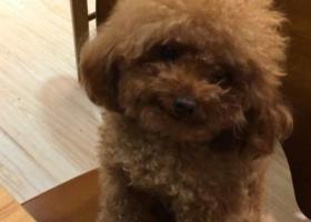 深圳南山蛇口南苑小区附近丢失一只泰迪狗狗
