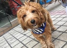 寻狗启示,寻找爱犬豆豆(广东江门),它是一只非常可爱的宠物狗狗,希望它早日回家,不要变成流浪狗。