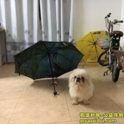 滁州寻狗启示,在凤阳县城寻白色京巴,它是一只非常可爱的宠物狗狗,希望它早日回家,不要变成流浪狗。