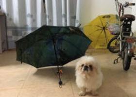 寻狗启示,在凤阳县城寻白色京巴,它是一只非常可爱的宠物狗狗,希望它早日回家,不要变成流浪狗。