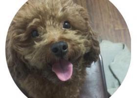 寻狗启示,温州大堡底附近寻找泰迪狗,它是一只非常可爱的宠物狗狗,希望它早日回家,不要变成流浪狗。