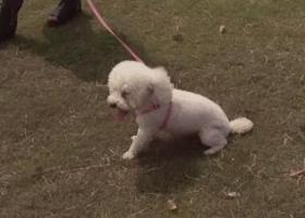寻狗启示,安徽省芜湖市绿影附近寻找白色比熊,它是一只非常可爱的宠物狗狗,希望它早日回家,不要变成流浪狗。