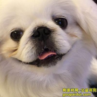滁州找狗,请好心人帮忙在滁州市凤阳县寻白色有孝喘病京巴,它是一只非常可爱的宠物狗狗,希望它早日回家,不要变成流浪狗。