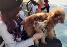 寻狗启示,红色小泰迪,名叫仔仔,它是一只非常可爱的宠物狗狗,希望它早日回家,不要变成流浪狗。