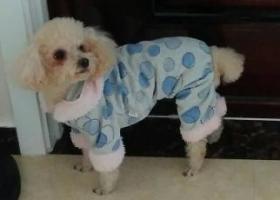 寻狗启示,昌乐,奶油色泰迪福荣世家附近走失,没穿衣服,刚美容不久,毛发较短,它是一只非常可爱的宠物狗狗,希望它早日回家,不要变成流浪狗。