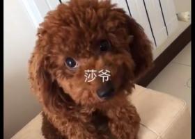 寻狗启示,寻找生病的棕色泰迪犬,它是一只非常可爱的宠物狗狗,希望它早日回家,不要变成流浪狗。