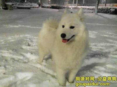 驻马店寻狗,重金寻找萨摩耶期盼早点回家,它是一只非常可爱的宠物狗狗,希望它早日回家,不要变成流浪狗。