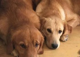 寻狗启示,寻狗启示:两只金毛狗丢失非常着急主人很想念它们,它是一只非常可爱的宠物狗狗,希望它早日回家,不要变成流浪狗。