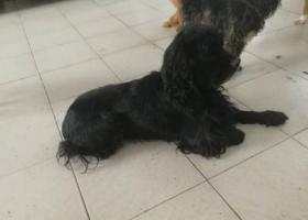 寻狗启示,南京捡到一只黑色雄性可卡,它是一只非常可爱的宠物狗狗,希望它早日回家,不要变成流浪狗。