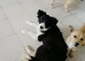 寻狗启示,南京捡到一只雌性边境牧羊犬幼犬,它是一只非常可爱的宠物狗狗,希望它早日回家,不要变成流浪狗。