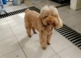 寻狗启示,南京捡到茶色雌性泰迪,它是一只非常可爱的宠物狗狗,希望它早日回家,不要变成流浪狗。