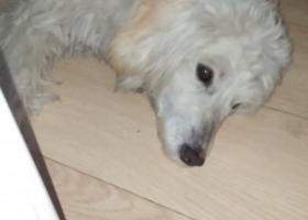 本人丢失一只白色泰迪犬