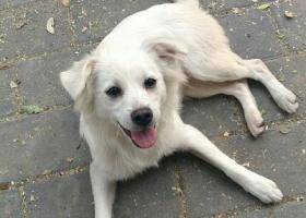 寻狗启示,潘家园附近捡到一只疫苗齐全的白色田园母狗寻主人,它是一只非常可爱的宠物狗狗,希望它早日回家,不要变成流浪狗。